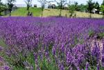 lavender aromatherapy essential oil